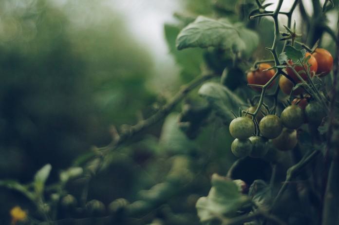 Pěstování divokých rajčat