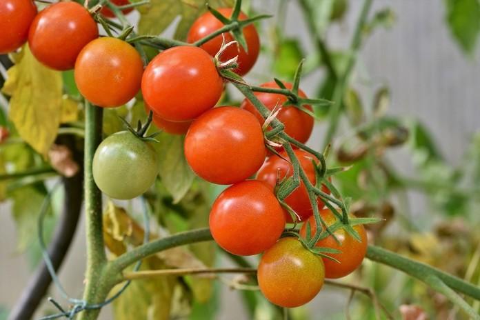 Pěstování rajčat v nádobách