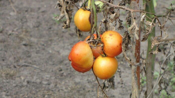 Chyby při pěstování rajčat