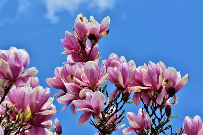 Magnolie pěstování