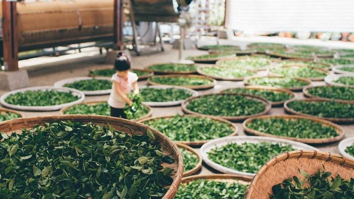 Fermentace čaje